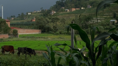 Rice 'nursery' and maize:-  a view from my office at Sakriya Plus Nepal. John Callaway 2010.