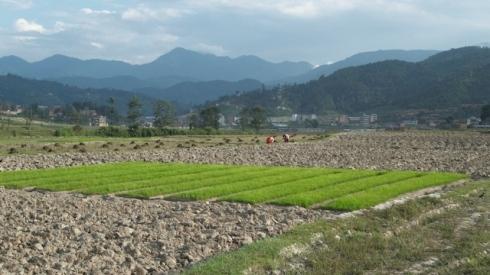 """Rice nursery"", Budol. John Callaway 2010"