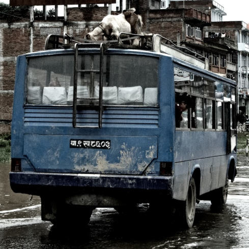 Goat on a bus... John Callaway 2010