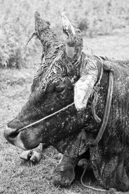 No bull... John Callaway 2011