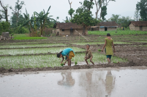 Planting out rice seedlings near Naukhuri. John Callaway 2011