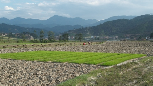 Rice seedlings, Budol, Kavre. John Callaway 2010