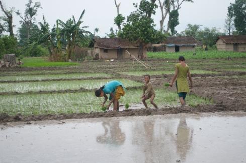 Rice planting, Kanchanpur. John Callaway 2011